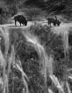 Buffalo Grass B&W