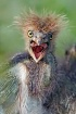 Hungry Heron Hatc...