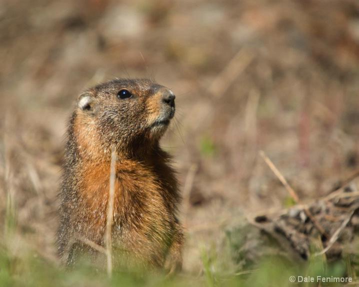 Curious Marmot - ID: 6474249 © Dale Fenimore