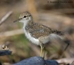 Spotted Sandpiper...