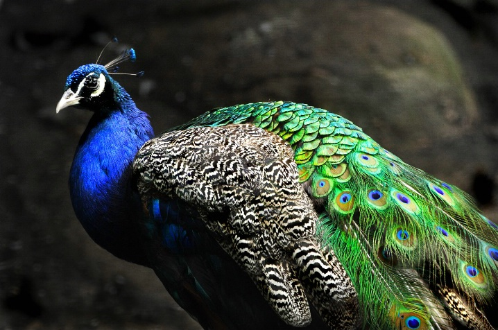 pretty as a peacock