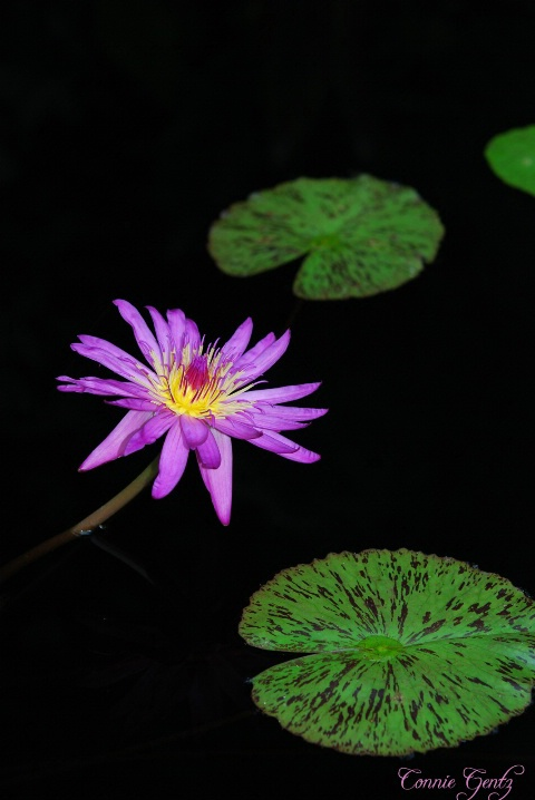 Water Lily II