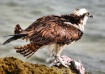Osprey having lun...