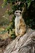 Meerkat Strikes a...