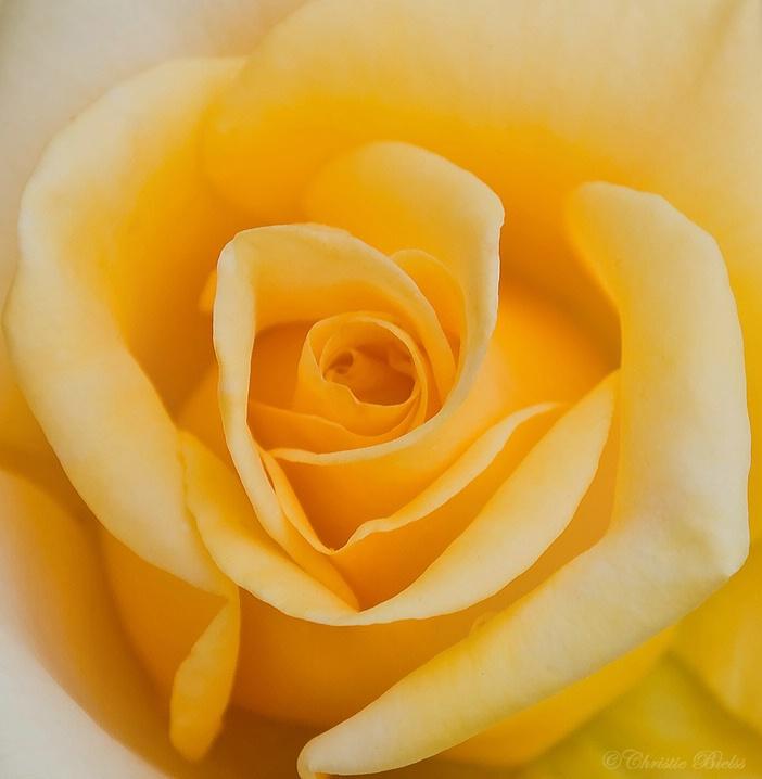 (M) Rose