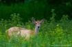 White-tailed Deer...