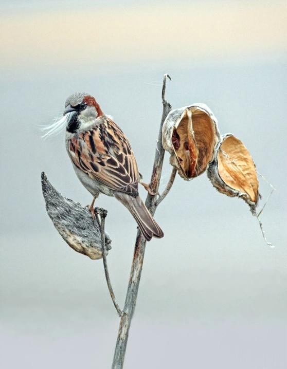 Sparrow and Milkweed