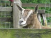 Ms. Goat