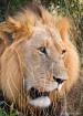 Kruger King