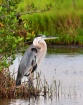 great blue heron ...