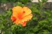 Orange_Hibiscus