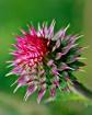 Thistle Bloom Soo...