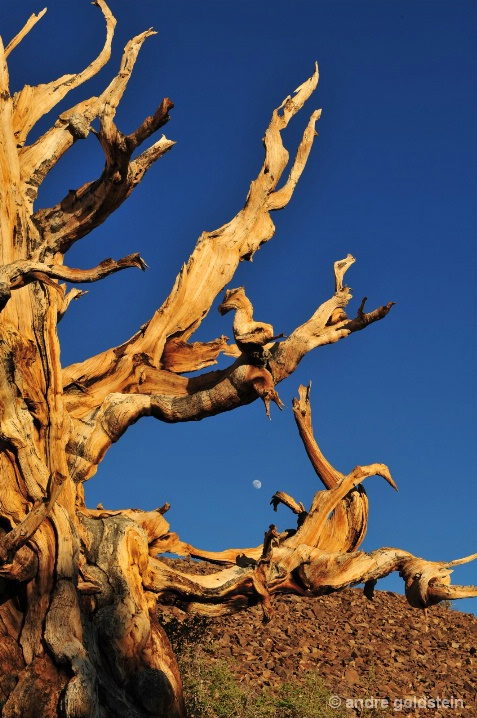 Bristlecone Pine and Moon