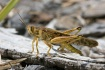 Common Grasshoppe...
