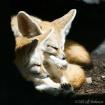 Fennick Foxes