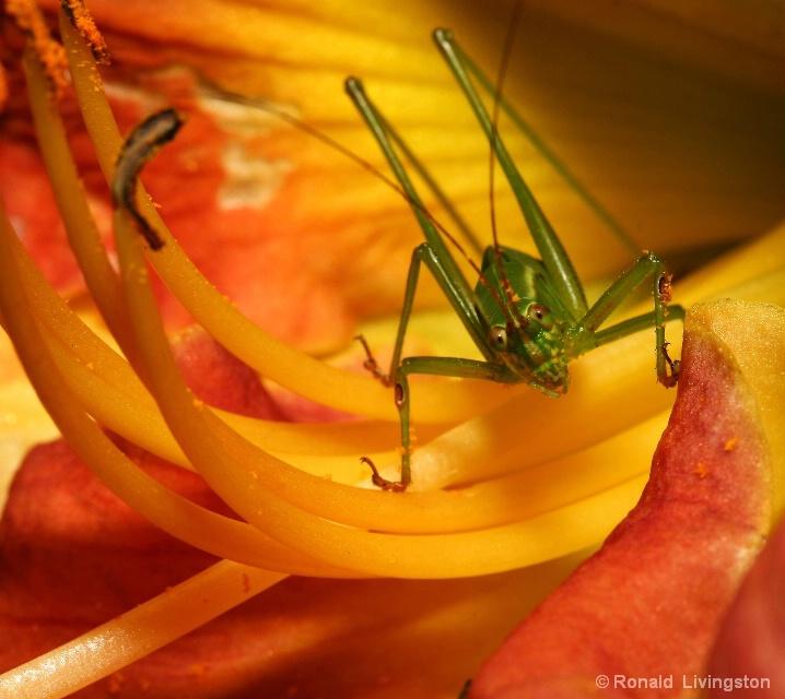 Curious Cricket - ID: 6582654 © Ron Livingston