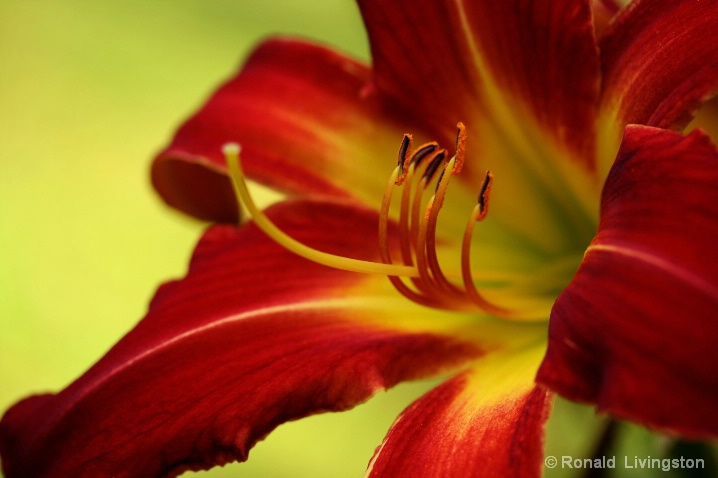 Daylily Delight - ID: 6582655 © Ron Livingston