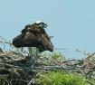 Osprey Guarding H...