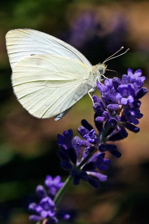Little White - ID: 6594292 © Michael Kelly