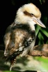 Laughing Kookabur...