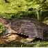 © Ronald Finegold PhotoID# 6605382: Florida Soft Shell Turtle