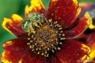 Pollen Covered Au...