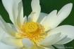 White Lotus Flowe...