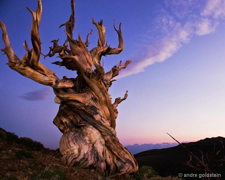 Bristlecone Pine at sunset