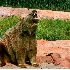 © Denny E. Barnes PhotoID# 6647669: Tank, Bear World USA-South Dakota