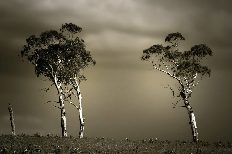 Eucalypts before the storm