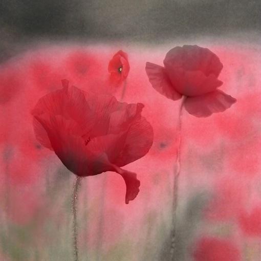 "Paradise Rose    36""X36""  Canvas Print"