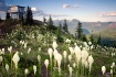 Bear grass on Sal...