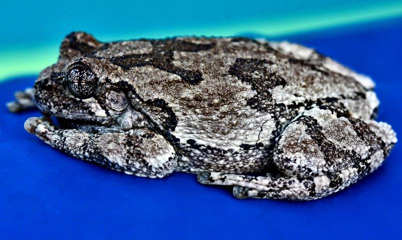 Hyla versicolor AKA North American tree frog