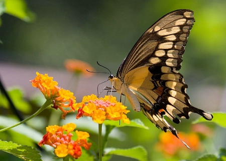 Swallowtail in Sunlight