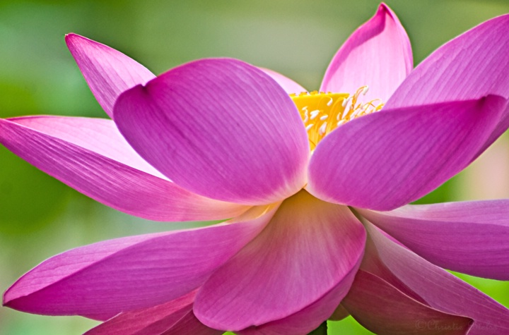 (M) Water Lily