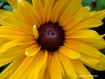 Brown-Eyed Susan