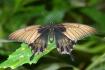 laurens butterfly