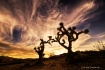 Joshua Trees at S...