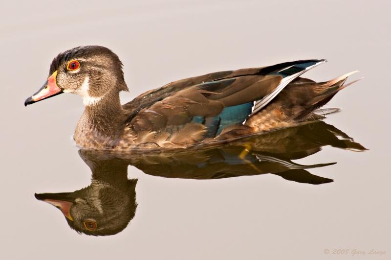 Juvenile male Wood duck