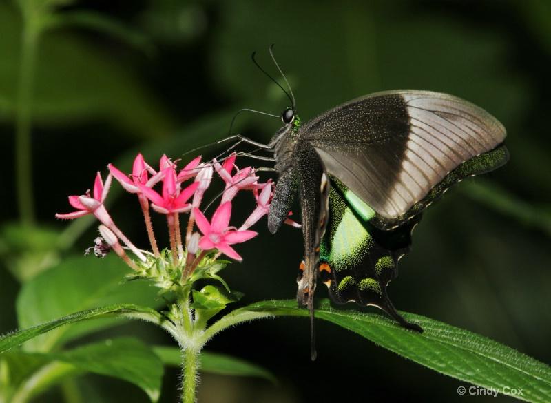 swallowtail on penta - ID: 6705012 © Cynthia S. Cox