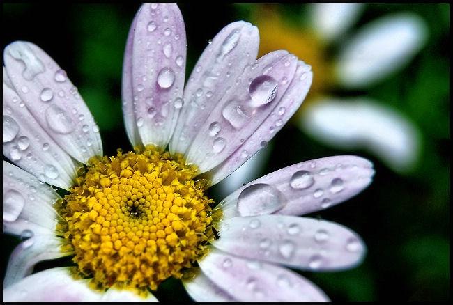 Daisy Dew...