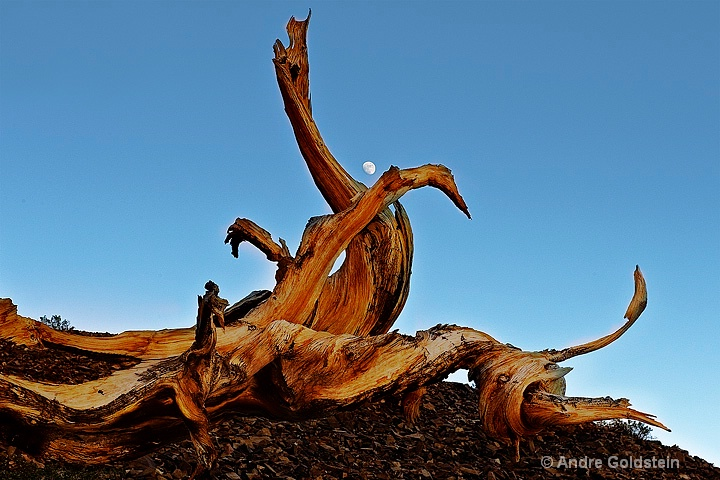 Bristlecone Pine branch and Moon