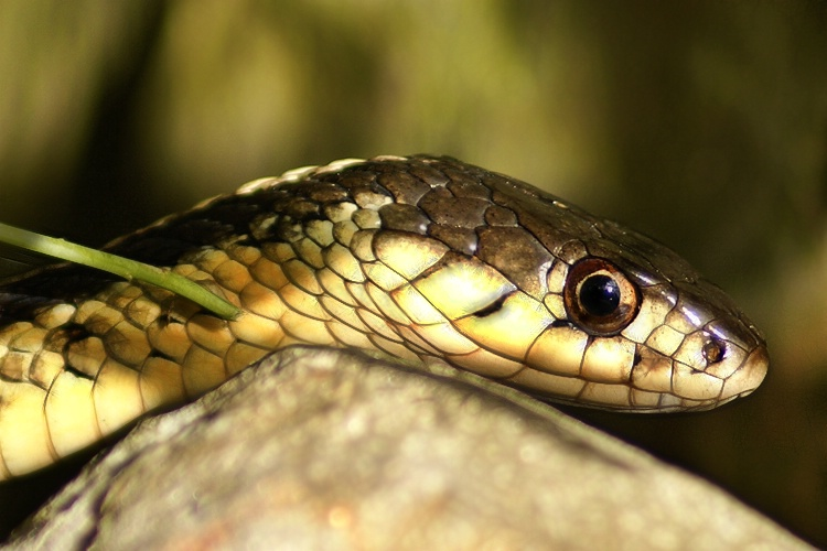 Snake in the Garden - ID: 6753904 © Laurie Daily