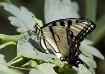 Swallowtail on Co...