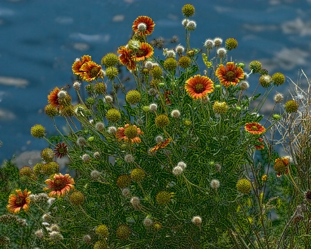 Riverside Blanket Flowers