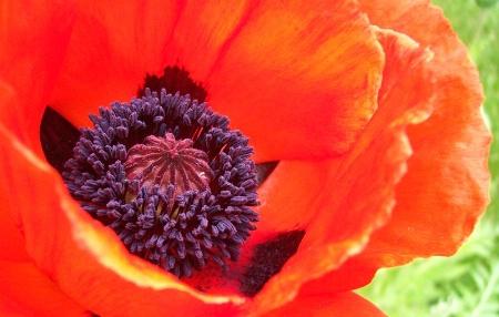 Poppy Wonder