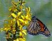 Monarch Sunshine ...