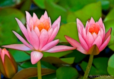 Power Pink Waterlillies