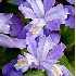 © Kyle Zeringue PhotoID # 6782994: Crested Dwarf Iris 2