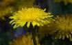 dandelions in the...